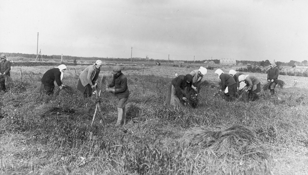 Stendes Selekcijas stacijas izmēģinājumu lauciņos novāc ražu ap 1923. g.