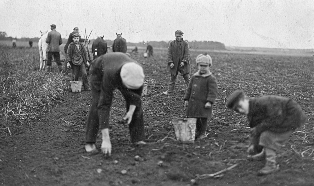 Kartupeļu novākšanas talka, 1930. gados. J. Kauķa foto Rīgā.