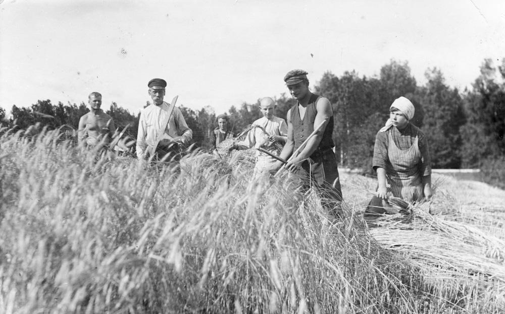 Labības pļauja Lībagu pagastā 1920. gados