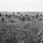 Ražas novākšana 1934. gadā