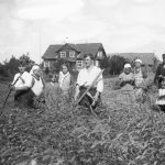 """Labības pļaušana Lībagu pagasta """"Podniekos""""  1936. gadā"""